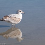 Gull Reflecting