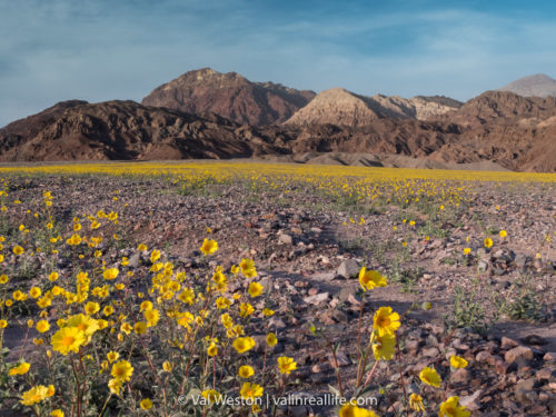 death valley super bloom - val in real life